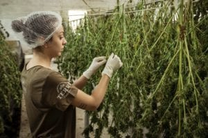 woman drying cannabis stalks