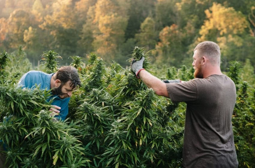 Academics Caution Against Big Tobacco Takeover of Cannabis