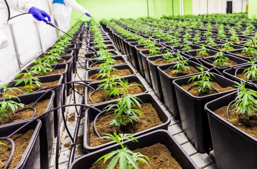 22nd Century Set to Maximize Cannabis Opportunities