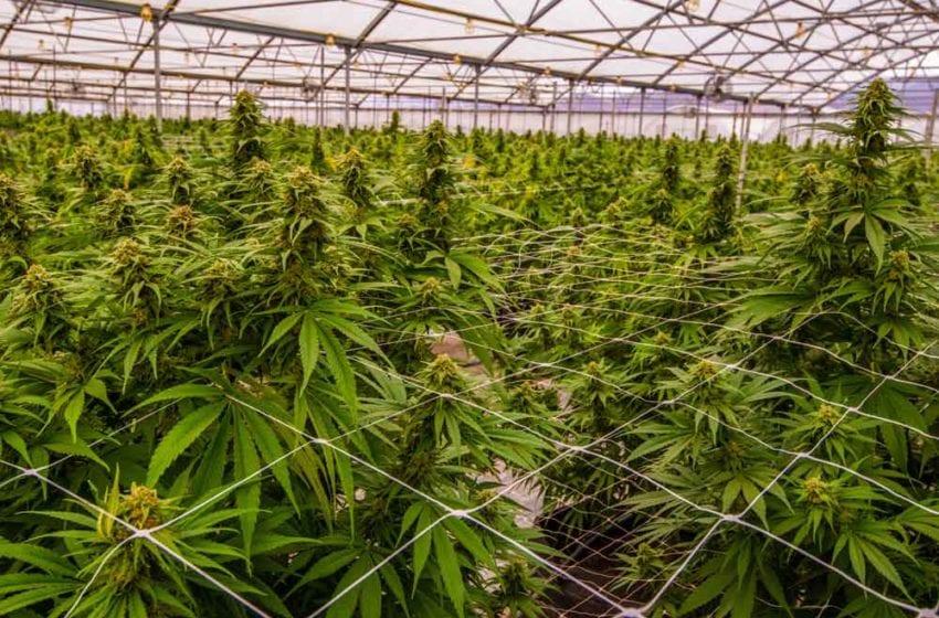 22nd Century Group Partners for Hemp/Cannabis Breeding